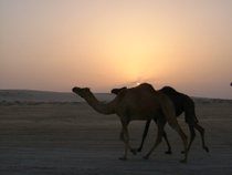 Camels in the Desert - www.countrybagging.com